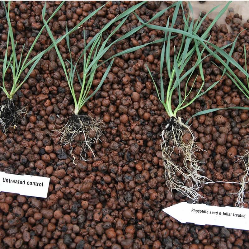 Phosphite growth timecourse in wheat, University of Nottingham, September 2019